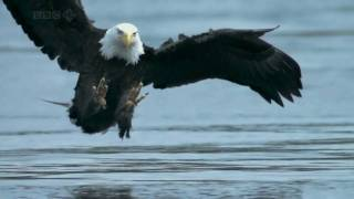 Bald Head Eagle Catches Salmon