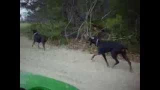 Doberman's and Lab run on a farm in Delaware