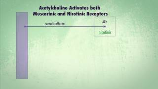 Acetylcholine Activates both Muscarinic and Nicotinic Receptors