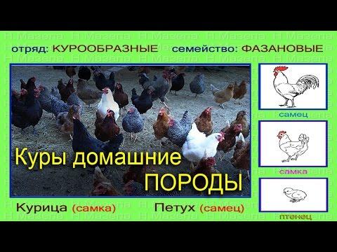 Курица петух. Породы домашних кур.