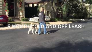5 Month Old Akita Learning Off Leash Obedience And Meets Cats | Www.sitmeanssithouston.com