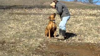 Sweet Boxer/mastiff/rotti Mix 4 Adoption