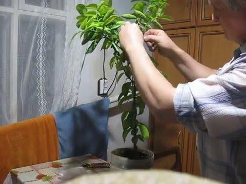 Укоренять на окне по радчевскому