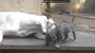 Great Dane Pups for sale In trivandrum