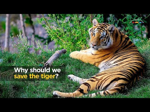 Why Should We Save The Tiger?
