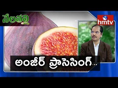 Anjeer Processing Guide By Mynampati Sreenivasa Rao | Nela Talli | Telugu News | hmtv