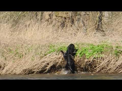 Flat-Coated Retriever Jeffrey bei einer Wasserübung mit viel Strömung
