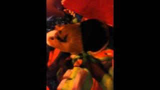 My sweet guipnea pig