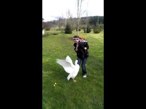 Guard goose attack.