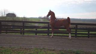 SA DS TOMCAT at Singing Hills Stable - American Saddlebred Stallion