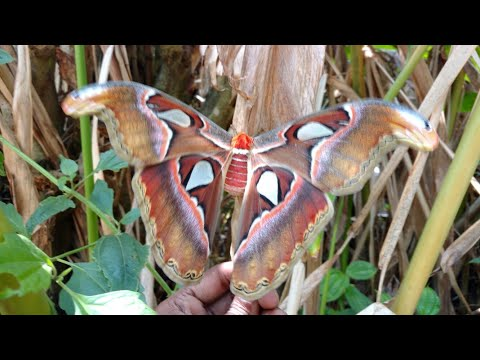 Endangered Butterfly  spotted in western ghats (Big & Beautiful)
