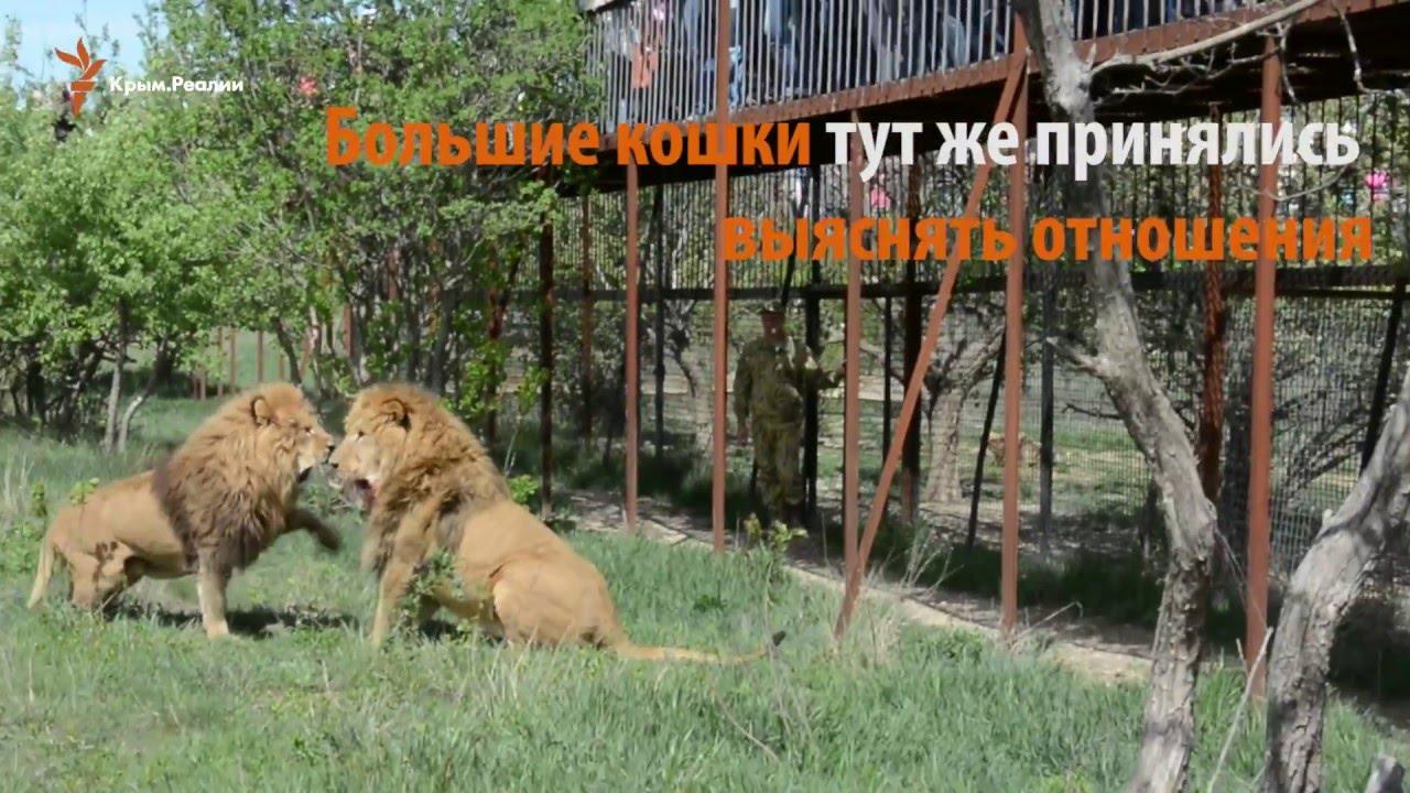 Хищники выясняют отношения в крымском сафари-парке