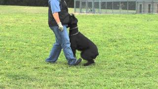 The Foundations Of Competitive Obedience 3v1- Heeling, The Recall And Motion Exercises (deutsch)