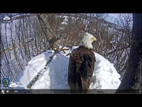 Nesting bald eagle pair loses nest to intruder