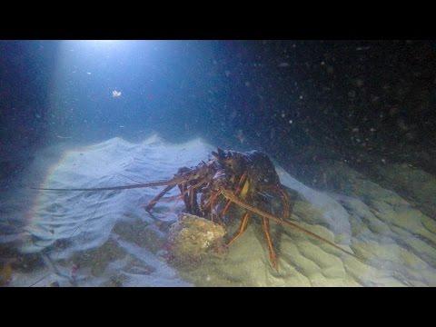 Huge lobster eating a whelk snail