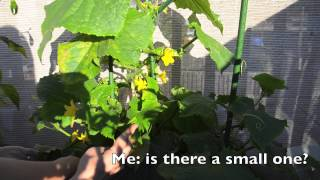 Growing Cucumbers In Containers: Why Do I Always Do This In Fall?!