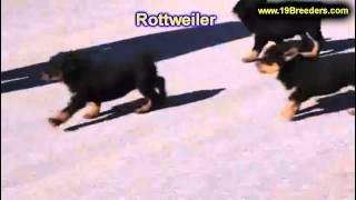 Rottweiler, Puppies, For, Sale, In, Butte Silver Bow, Montana, Mt, Helena, Havre, Kalispell