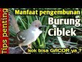 Manfaat Pengembunan Ciblek  Mp3 - Mp4 Download