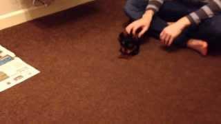 Milo - 11 Week Miniature Yorkshire Terrier