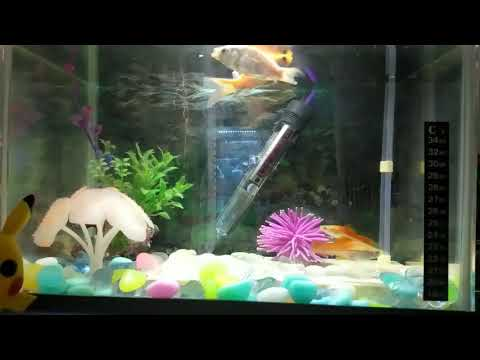Goldfish And Swordtail Fish After Feeding