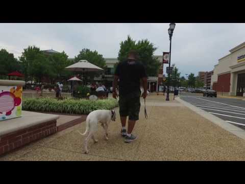 Dogo Argentino, Morocho's Amazing Before/After Video! Dogo