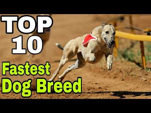 TOP-10 Best Fastest Running Dog Breed / fastest dog breed in the world / Aryan Dog Club Aryandogclub