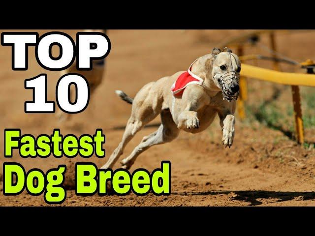 TOP-10 Best Fastest Running Dog Breed / fastest dog breed in the world / Aryan Dog Club Aryandogclub