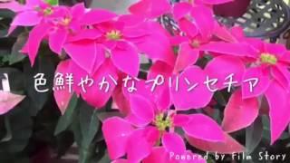 栃木県足利市、関田園芸です。 早々とクリスマスのお花、プリンセチアが...