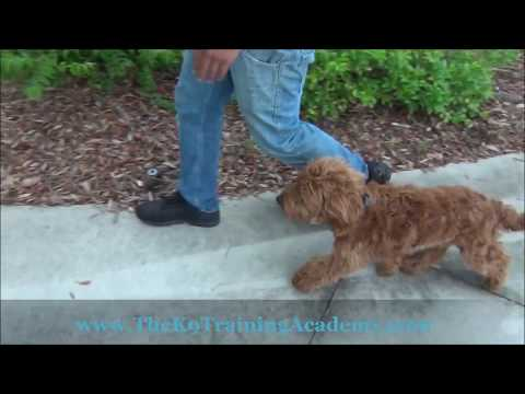 Max a Golden Doodle with Advance Obedience - The K9 Training Academy