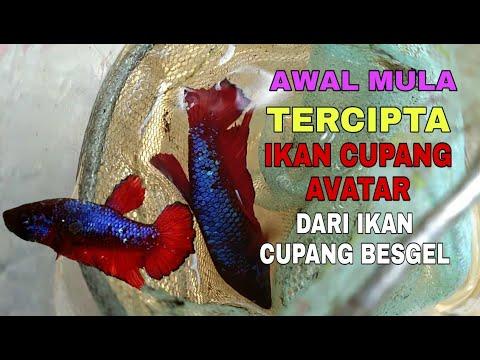 Cupang Avatar Belom Jadi Banget Youtube