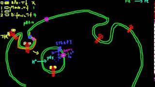 Cellular Iron Uptake Explained