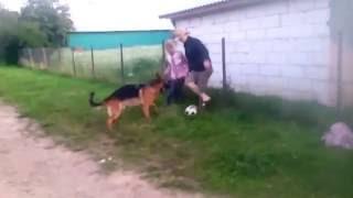 Немецкая  овчарка играет в футбол