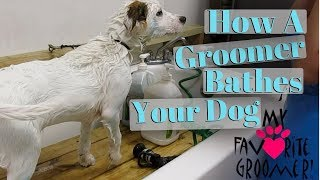 Bathing a dog at a groom shop