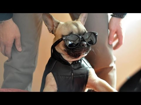 Cutest French Bulldog Puppies Compilation