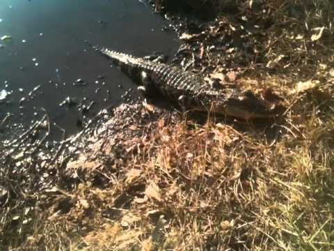 2 Foot Alligator