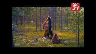 Сюжет о медведях мурманской телекомпании ТВ-21(http://tv21.ru/news/2015/11/19/?newsid=87669., 2015-11-21T16:25:46.000Z)