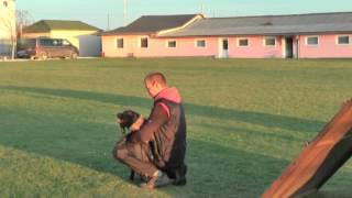 Staffordshire Bull Terrier - Jump Over Obstacle