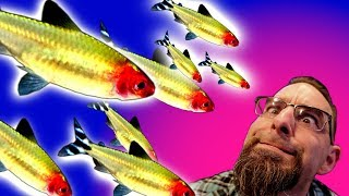 Best schooling aquarium fish UPDATE! 250 Rummy Nose Tetras! thumbnail