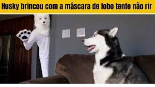 Husky brincou com a máscara de lobo tente não rir | cahorro engraçado