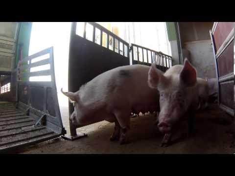 Schwein Schlachten Mit Axt