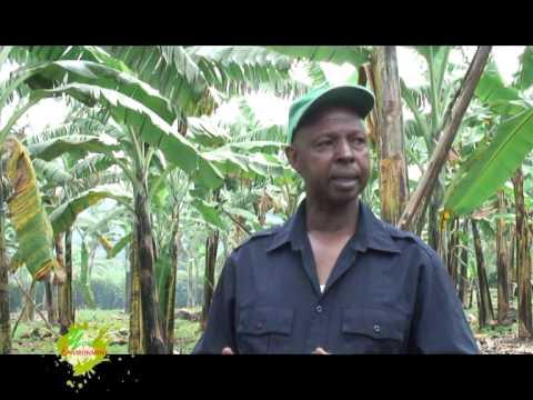 Banana the crop to feed generations Success case of Nyamiyaga Banana Growers Farm