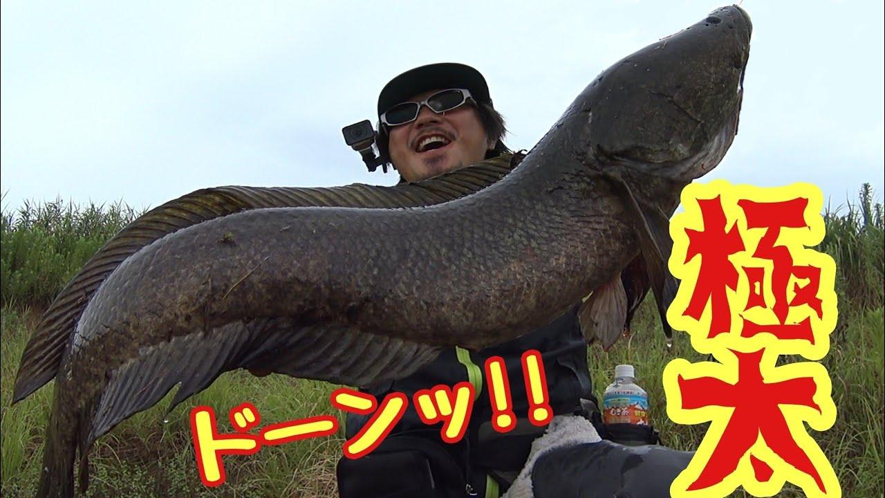 【雷魚】浮草の下で蠢く巨大雷魚。コラボ遠征3日目。snake head fishing in Japan