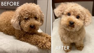 Grooming a toy poodle at home with scissors