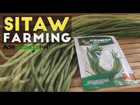 How to grow sitaw or long bean very productive | Agribusiness Philippines