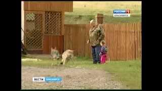 Красноярец разводит волков в собственном дворе
