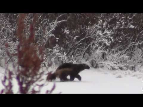 Wolverine at Dymond Lake Lodge Great Ice Bear Adventure 2012