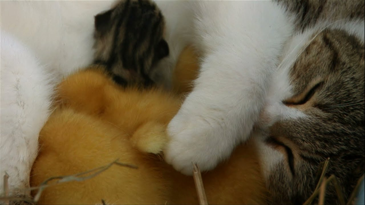 Animal Odd Couples Youtube cat cuddles kittens and adopted ducklings - animal odd couples: episode 1  preview - bbc one