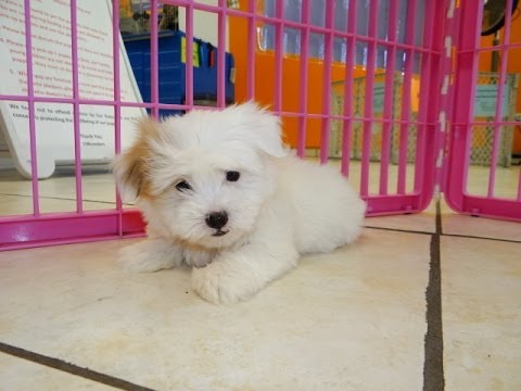 Coton De Tulear Puppies Dogs For Sale In Birmingham Alabama Al