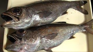 ムツのさばき方~血抜きと熟成~握り寿司になるまで 寿司屋の仕込み how to fillet a Patagonian Toothfish and make sushi