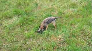 Border Terrier Kills A Rat.mp4